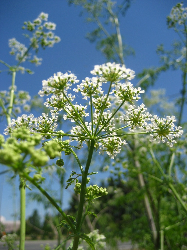 Poison Hemlock a growing concern